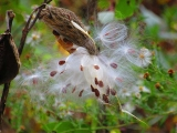 <h5>Milkweed</h5><p>Milkweed is a favorite food for Monarch butterflies and a common autumn site in Lundale fields.</p>